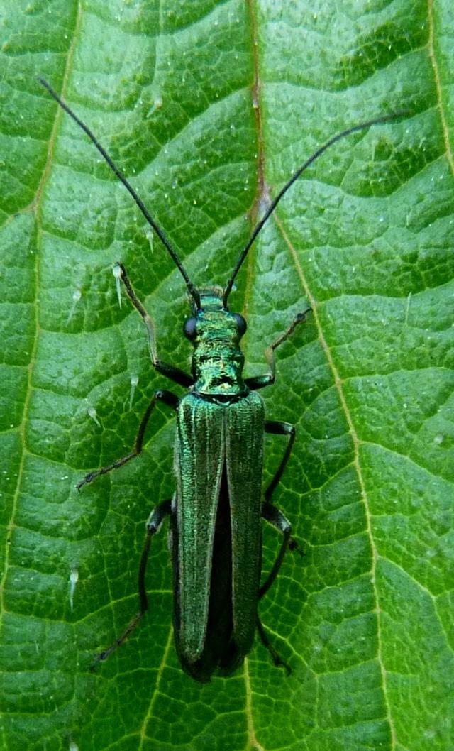 Female Oedema nobilis