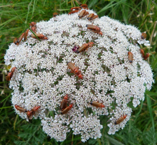 Mating R. fulva on Wild Carrot