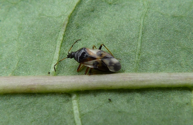 Common Flower Bug - Anthocoris nemorum 2
