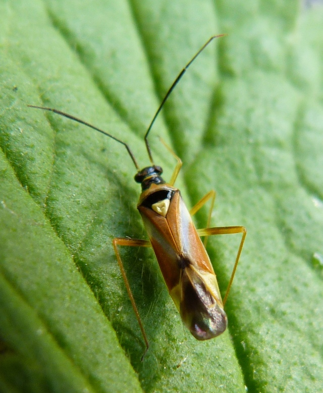 Cyllecoris histrionius 1