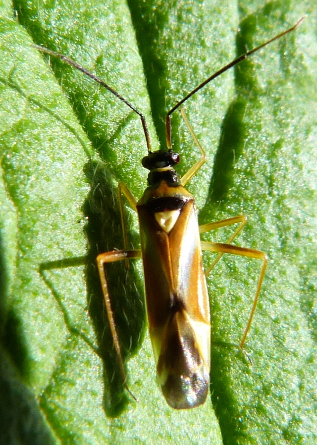Cyllecoris histrionius 2