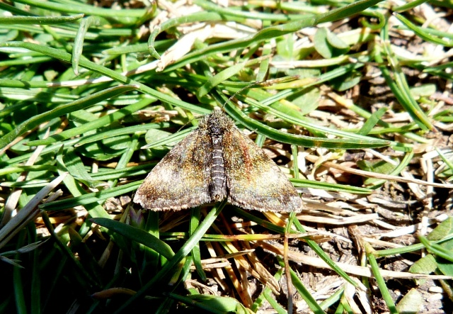 Small Yellow Underwing Moth 2