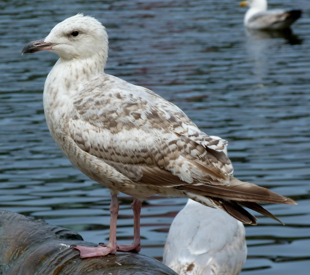 1st winter Herring Gull 1