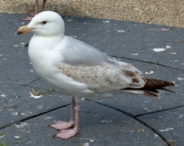 2nd summer-3rd winter Herring Gull 2