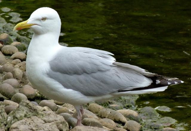 Adult Herring Gull 1