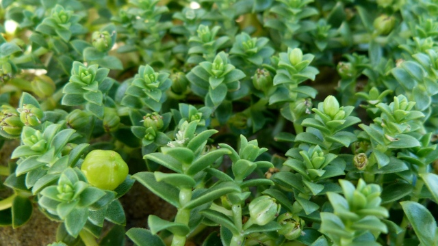 Sea Sandwort 1
