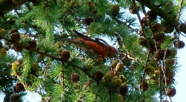 Male Two-barred Crossbill