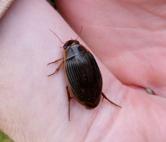 Great Diving Beetle 2