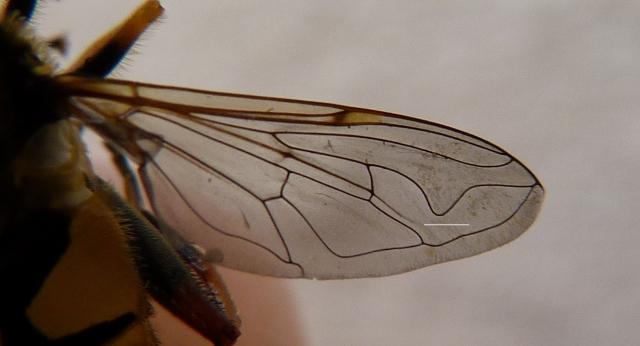 Eristalini wing