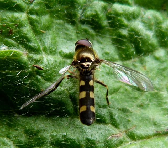 Platycheirus scutatus male